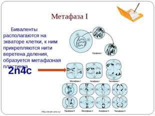 Метафаза I 2n4c http://exam-ans.ru/ Биваленты располагаются на экваторе клет
