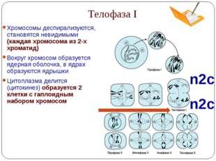 Телофаза I n2c n2c Хромосомы деспирализуются, становятся невидимыми (каждая х