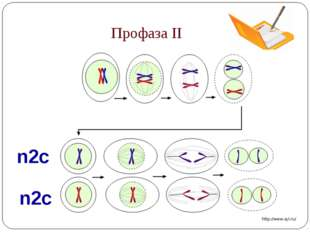 Профаза II n2c n2c http://www.syl.ru/