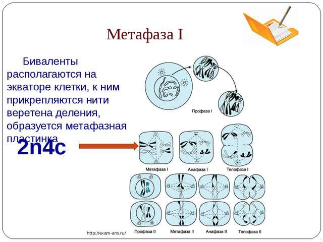 Метафаза I 2n4c http://exam-ans.ru/ Биваленты располагаются на экваторе клет...