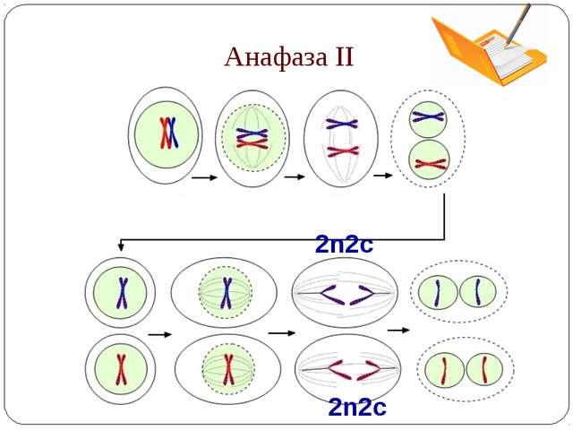 Анафаза II 2n2c 2n2c