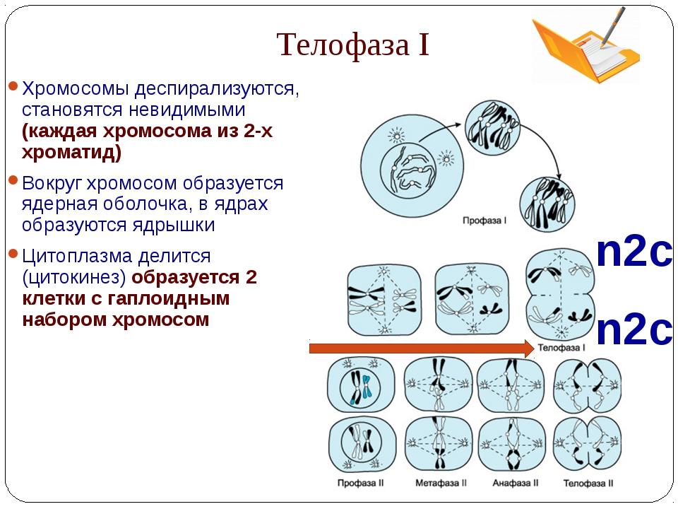 Телофаза I n2c n2c Хромосомы деспирализуются, становятся невидимыми (каждая х...