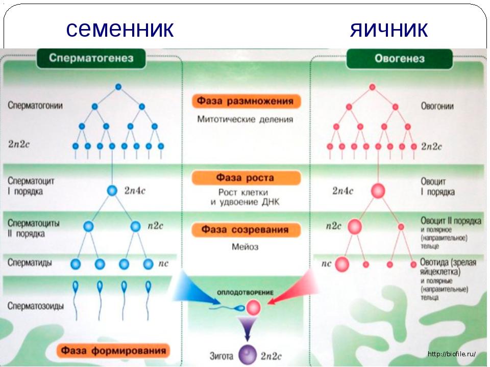 семенник яичник http://biofile.ru/