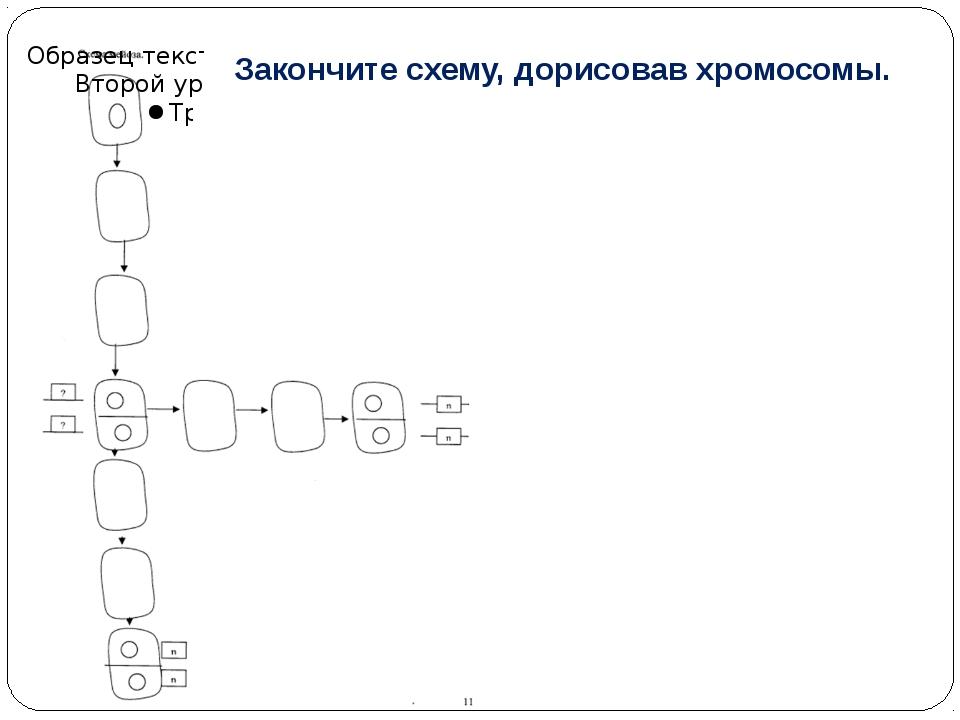 Закончите схему, дорисовав хромосомы.