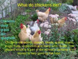 What do chickens eat? Chickens eat worms, insects, seeds, grains, snails, slu