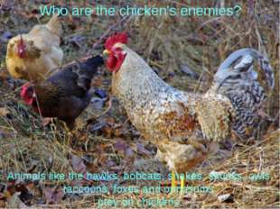 Who are the chicken's enemies? Animals like the hawks, bobcats, snakes, skunk