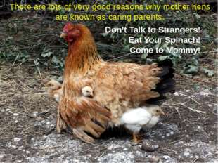 There are lots of very good reasons why mother hens are known as caring paren