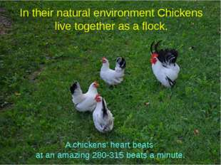 In their natural environment Chickens live together as a flock. A chickens' h
