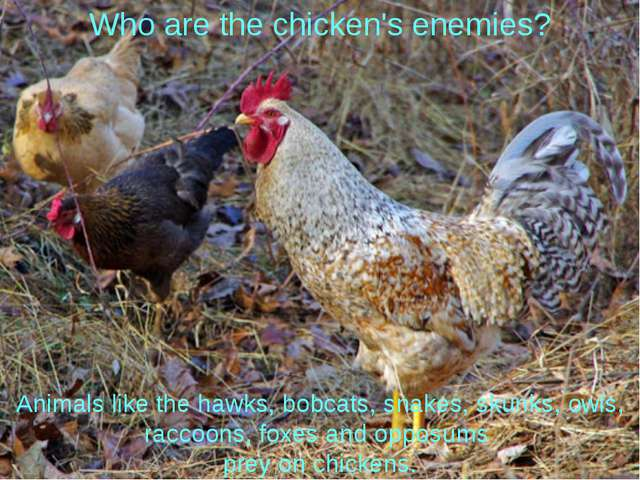 Who are the chicken's enemies? Animals like the hawks, bobcats, snakes, skunk...