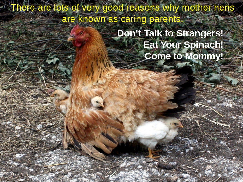 There are lots of very good reasons why mother hens are known as caring paren...
