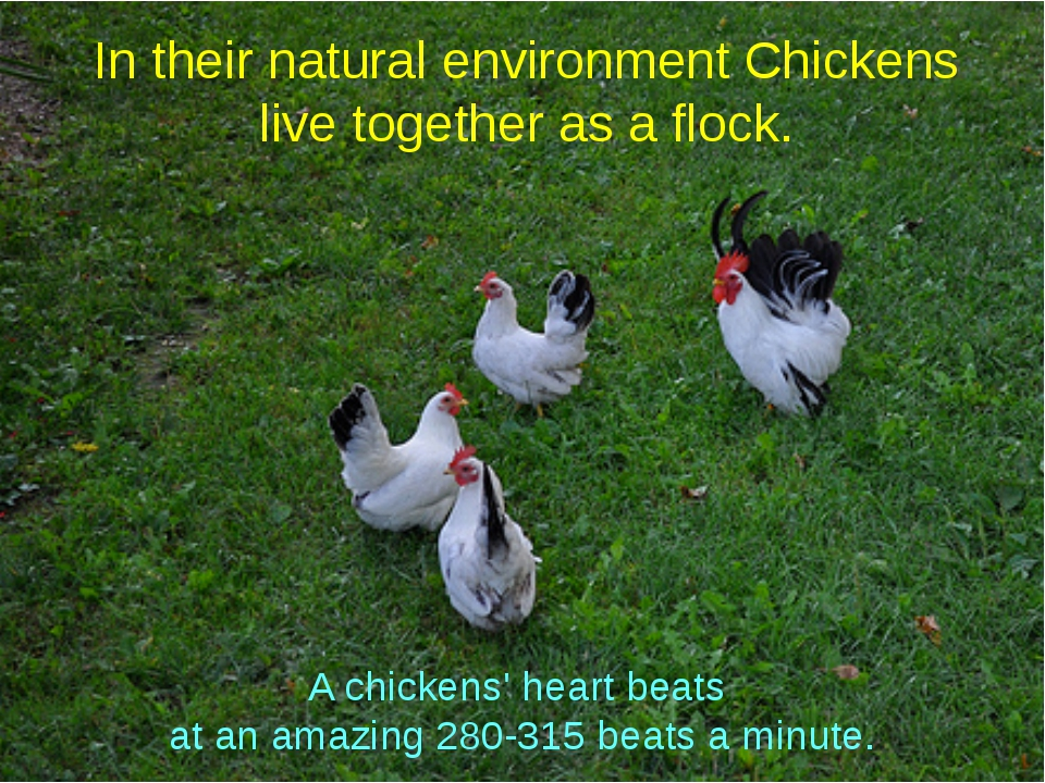 In their natural environment Chickens live together as a flock. A chickens' h...