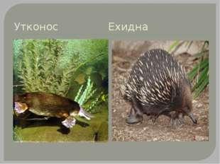 Утконос Ехидна