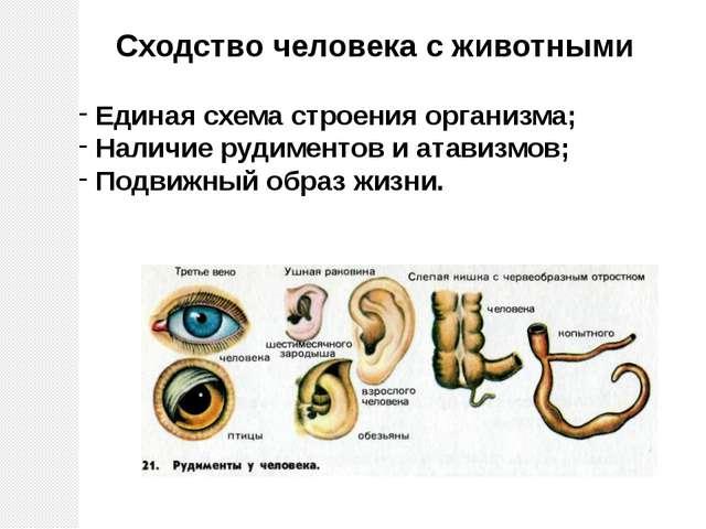 Единая схема строения организма; Наличие рудиментов и атавизмов; Подвижный об...