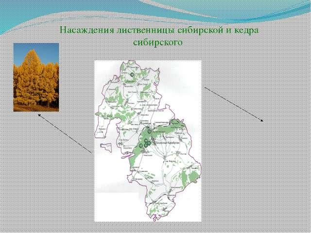 Насаждения лиственницы сибирской и кедра сибирского