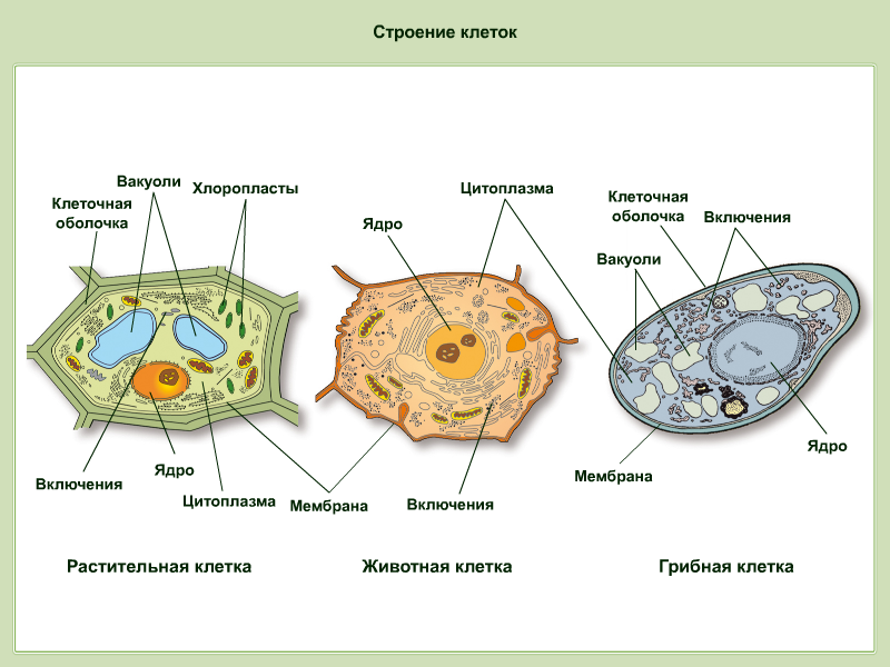 C:\Documents and Settings\User\Рабочий стол\Строение клеток (Рисунок).png