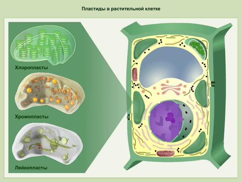 Пластиды в растительной клетке (Рисунок)