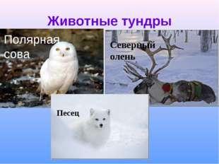 Животные тундры Северный олень Песец