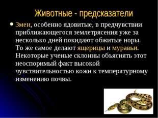 Змеи, особенно ядовитые, в предчувствии приближающегося землетрясения уже за