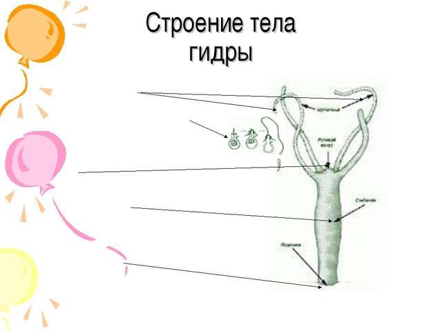 Cтроение тела гидры