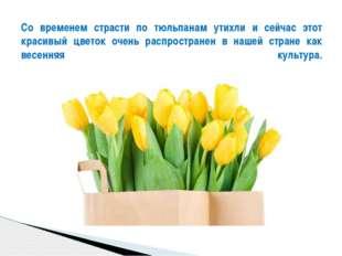 Со временем страсти по тюльпанам утихли и сейчас этот красивый цветок очень