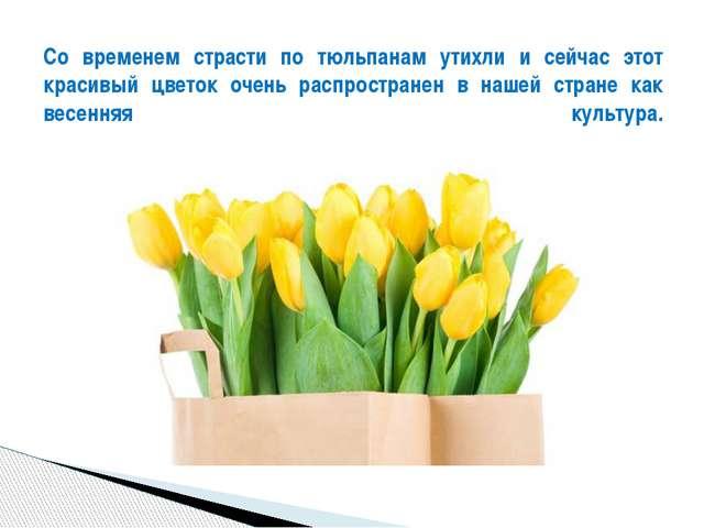 Со временем страсти по тюльпанам утихли и сейчас этот красивый цветок очень...