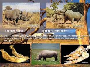 Носорог Мерка Носорог хилотерий Здесь обитали два вида носорогов: носорог Мер