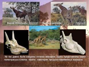 Жираф палеотрагус Жираф самотерий Не так давно были найдены останки жирафов.
