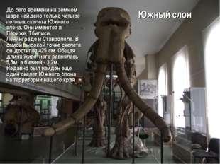 Южный слон До сего времени на земном шаре найдено только четыре полных скелет