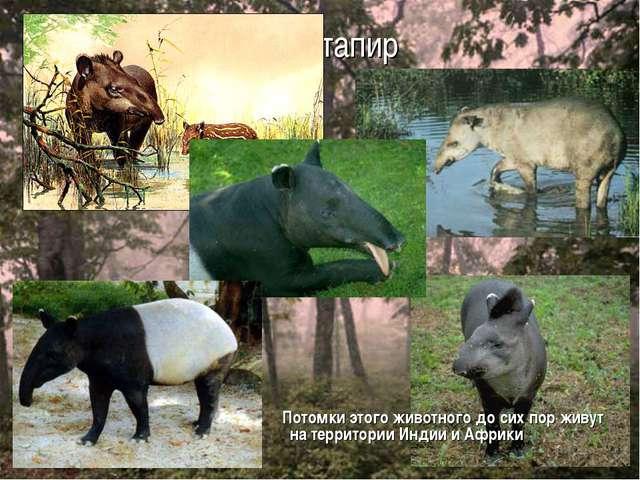 тапир Потомки этого животного до сих пор живут на территории Индии и Африки
