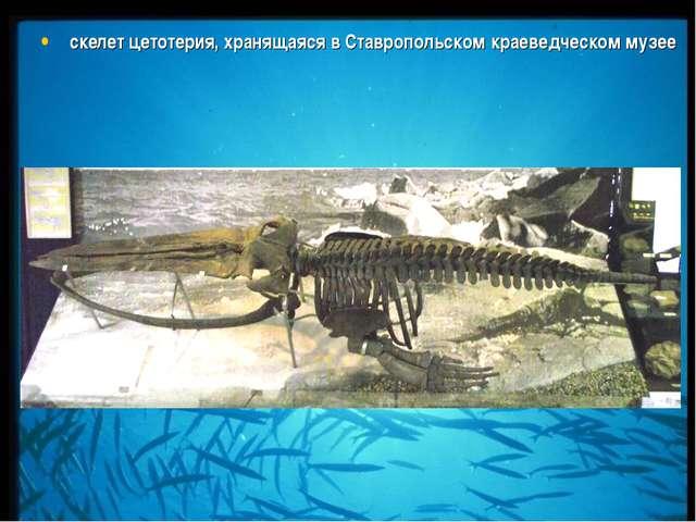 скелет цетотерия, хранящаяся в Ставропольском краеведческом музее