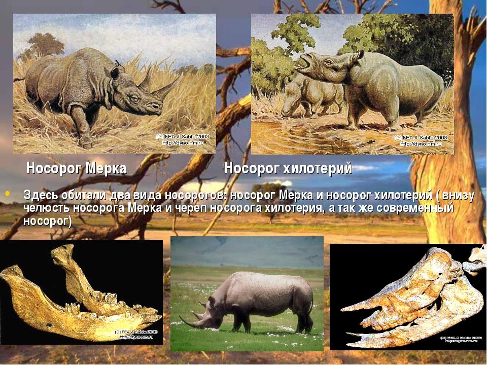 Носорог Мерка Носорог хилотерий Здесь обитали два вида носорогов: носорог Мер...