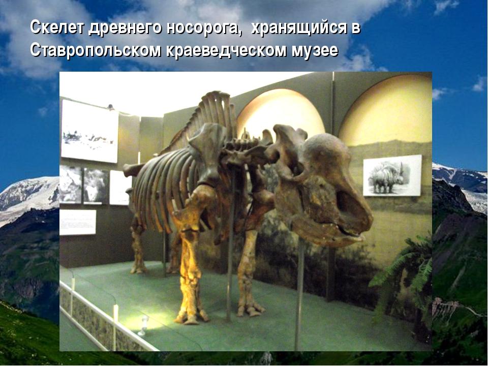 Скелет древнего носорога, хранящийся в Ставропольском краеведческом музее