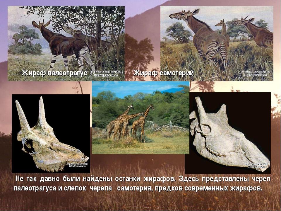 Жираф палеотрагус Жираф самотерий Не так давно были найдены останки жирафов....