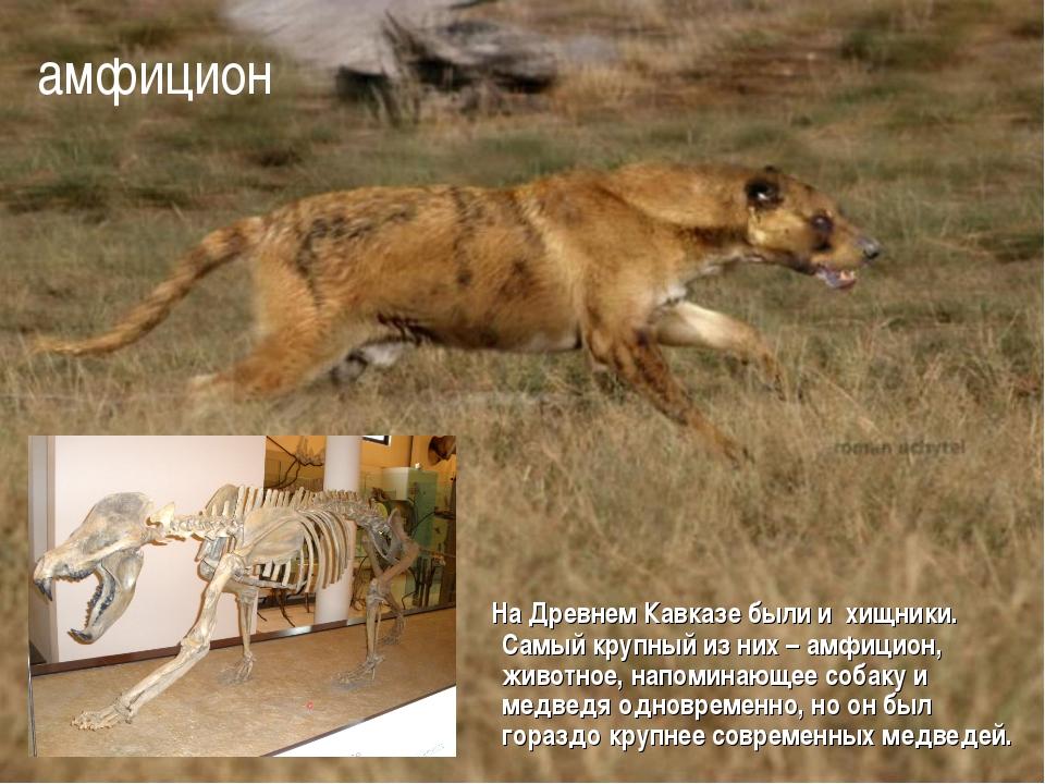 На Древнем Кавказе были и хищники. Самый крупный из них – амфицион, животное...