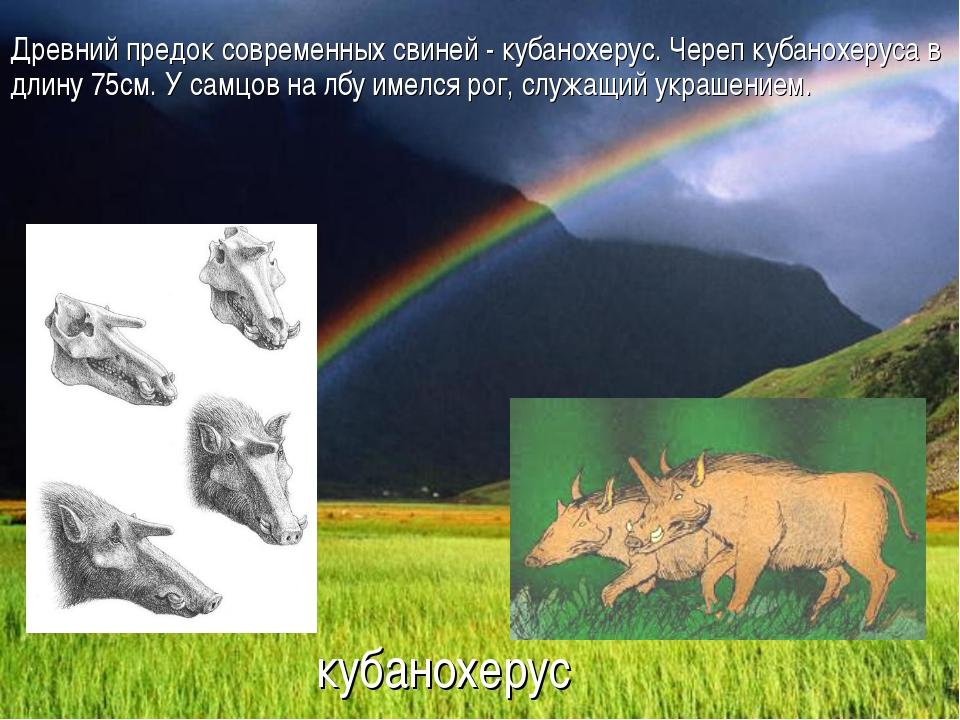 кубанохерус Древний предок современных свиней - кубанохерус. Череп кубанохеру...