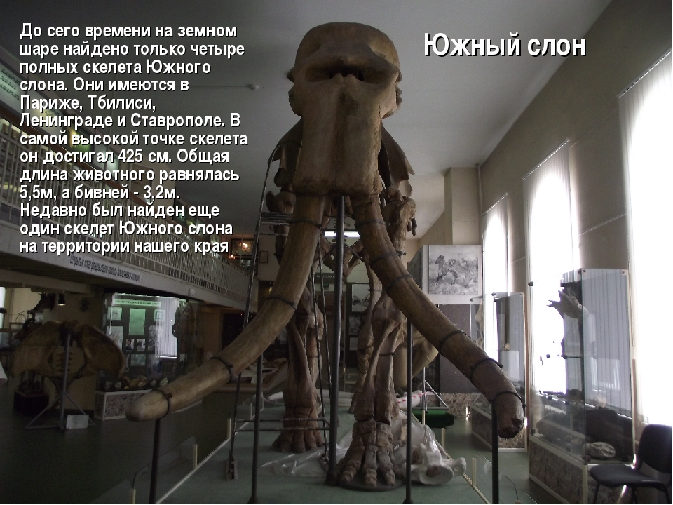 Южный слон До сего времени на земном шаре найдено только четыре полных скелет...
