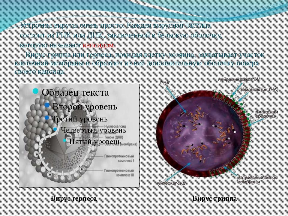 Устроены вирусы очень просто. Каждая вирусная частица состоит из РНК или ДНК...