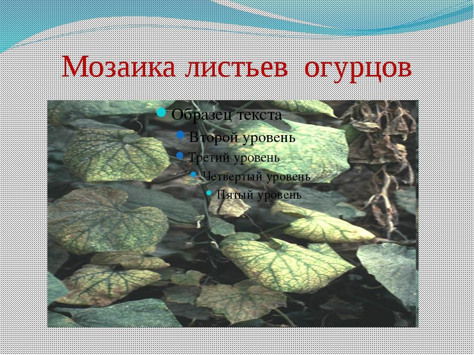 Мозаика листьев огурцов