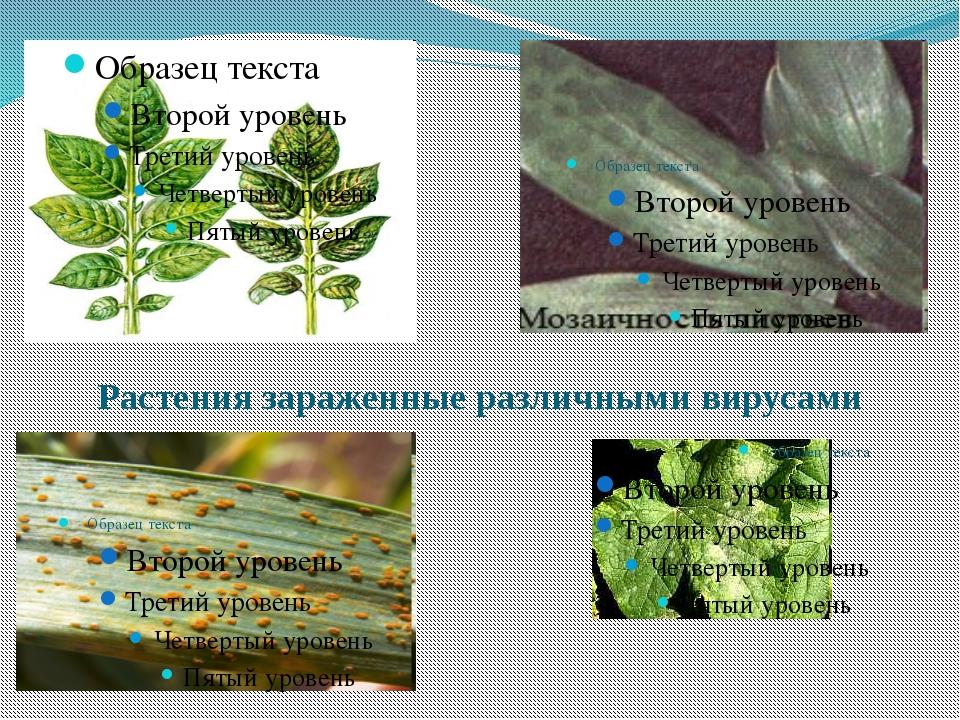 Растения зараженные различными вирусами
