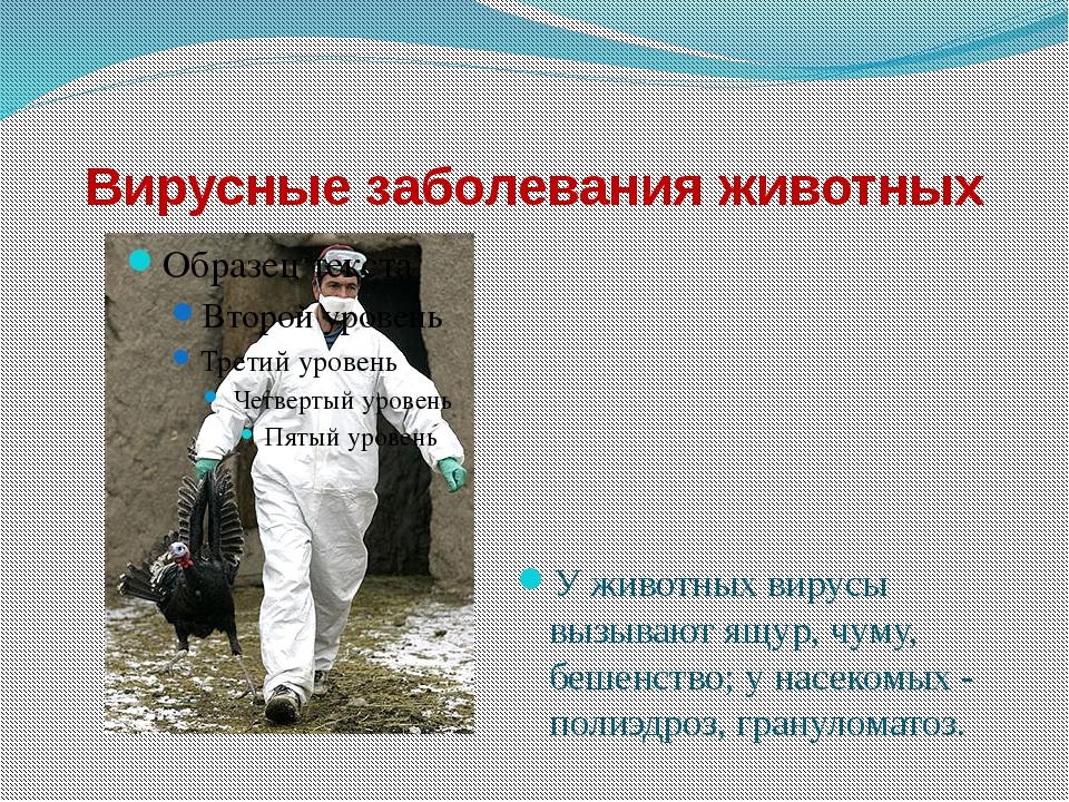 Вирусные заболевания животных У животных вирусы вызывают ящур, чуму, бешенств...