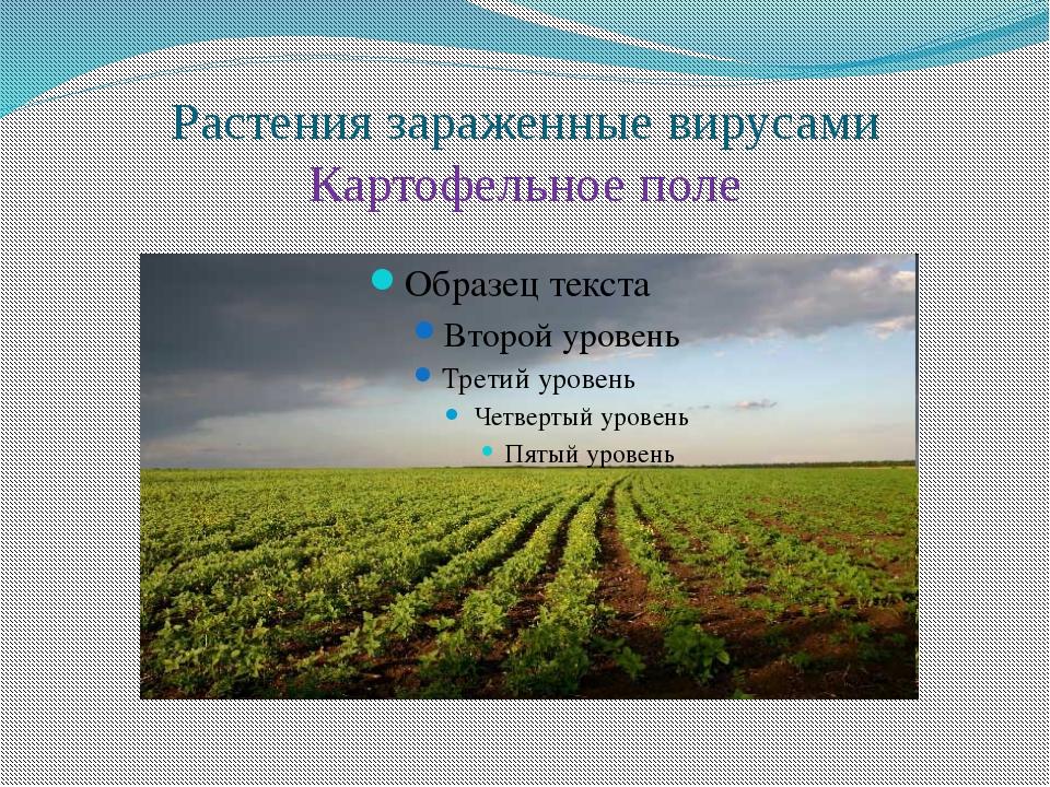 Растения зараженные вирусами Картофельное поле