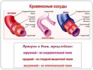 Кровеносные сосуды Артерии и вены, трехслойные: наружный – из соединительной