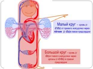 Малый круг – кровь (с СО2) от правого желудочка через лёгкие (с О2)в левое п