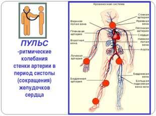ПУЛЬС -ритмические колебания стенки артерии в период систолы (сокращения) жел