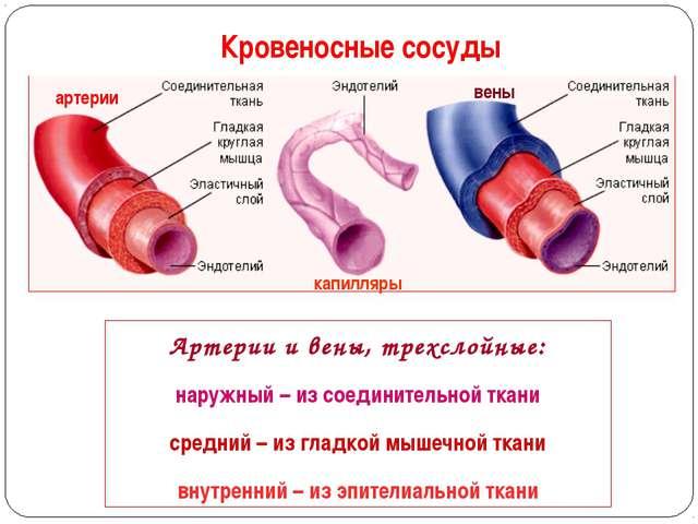 Кровеносные сосуды Артерии и вены, трехслойные: наружный – из соединительной...