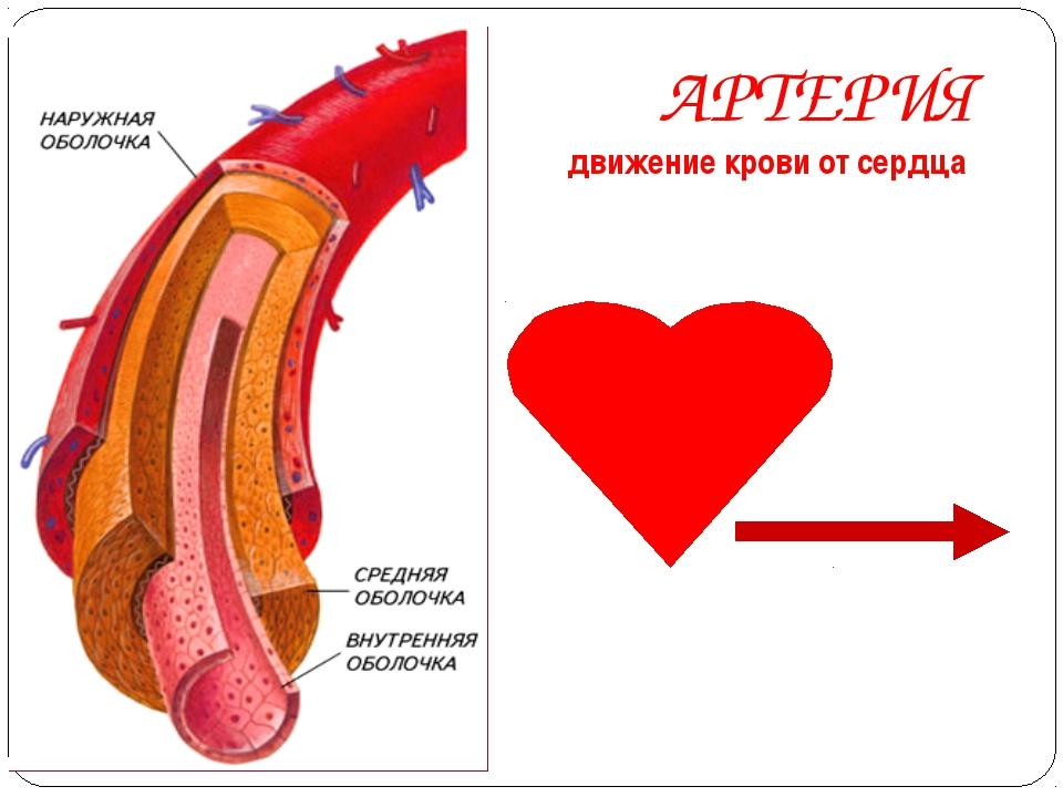 АРТЕРИЯ движение крови от сердца