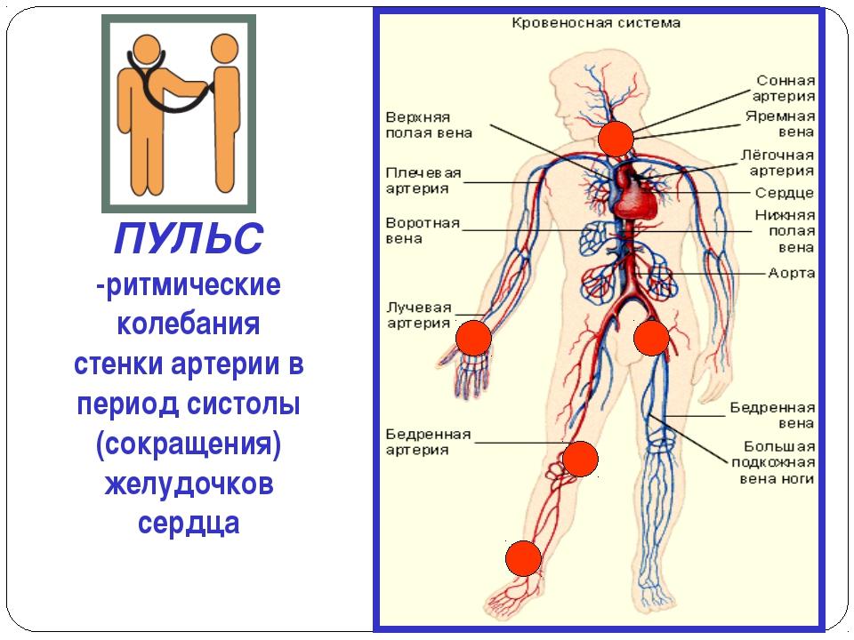 ПУЛЬС -ритмические колебания стенки артерии в период систолы (сокращения) жел...