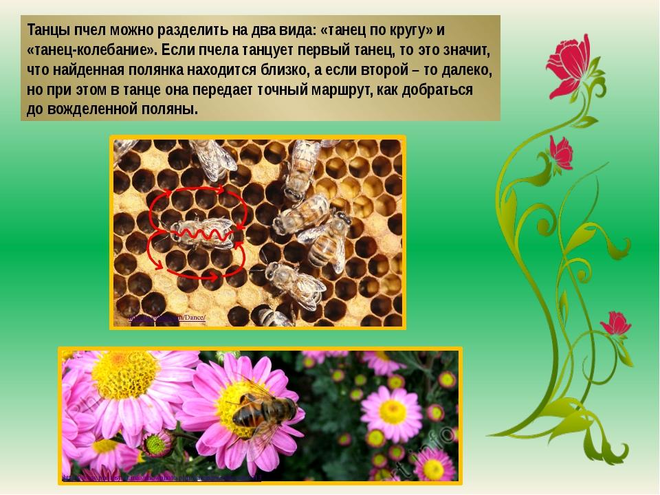 Танцы пчел можно разделить на два вида: «танец по кругу» и «танец-колебание»....