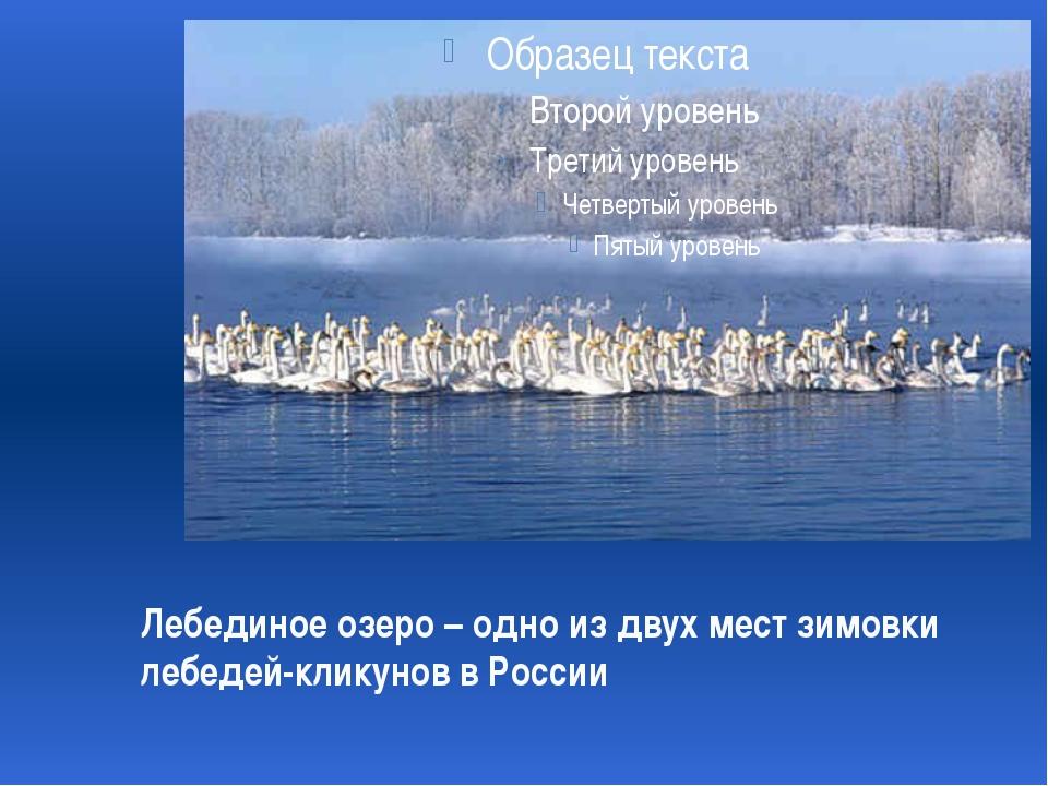 Лебединое озеро – одно из двух мест зимовки лебедей-кликунов в России