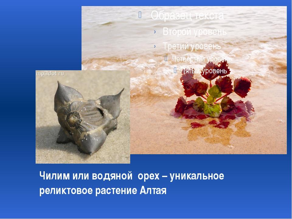 Чилим или водяной орех – уникальное реликтовое растение Алтая